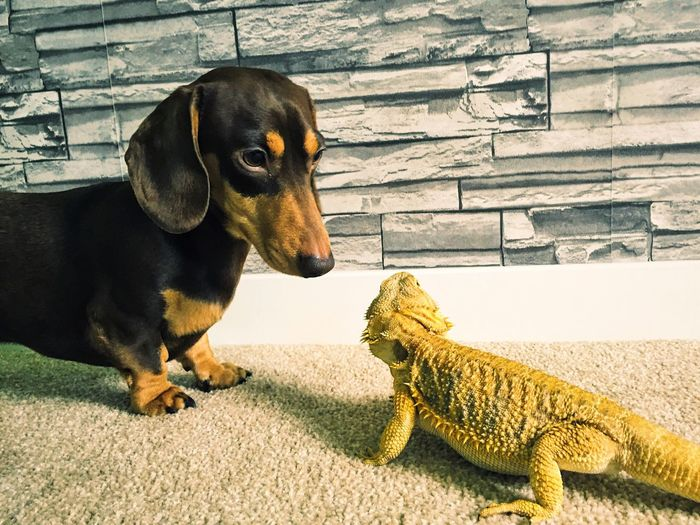 Loxley the Dachshund and Loki the Bearded Dragon Puppy Dog Reptile Lizard Lizard Love Unlikely Friendships Best Friends Odd But Beautiful Companion Friendship Curiosity