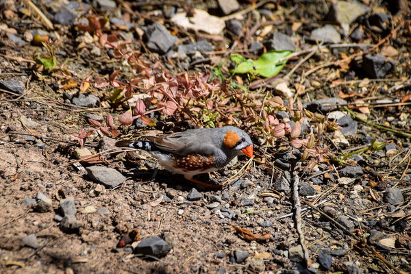 Zebra Finch Finch Taeniopygia Guttata Tropical Paradise Zebra Finch At Water Hole Animal Themes Animal Wildlife Animals In The Wild Bird Close-up Day Field Finches Nature No People One Animal Outdoors Sunlight Taeniopygiaguttata Tropical Birds Tropical Climate Zebra Finch Zebra Finches