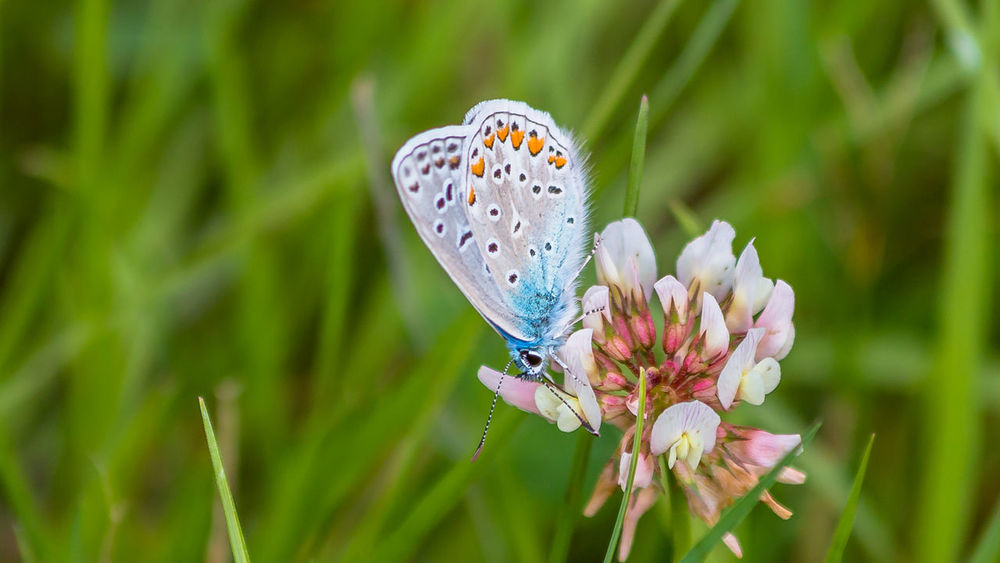 Common blue butterfly Hauhechel Bläuling The Week On EyeEm Animal Themes Animals In The Wild Beauty In Nature Butterfly Butterfly - Insect Close-up Common Blue Butterfly Day Fragility Growth Insect Nature No People One Animal Outdoors Plant