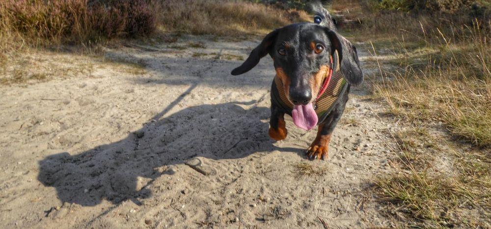 Dog One Animal Shadow Outdoors Leisure Activity Taking Photos Sausagedog Dackel Teckelphoto Teckel Amor Mio Dackelblick Meneervincent Lumixtz60 Tongue Out Teckel Visitegelderland