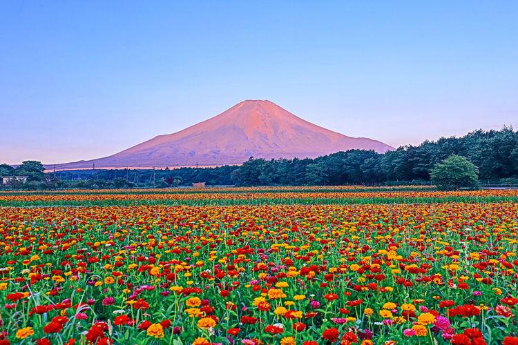 花の都公園からの富士山 Mtfuji Mt.Fuji Fujisan 富士山 Zinnia  Flower Flower Head Mountain Clear Sky Tree Rural Scene Multi Colored Agriculture Field Blue