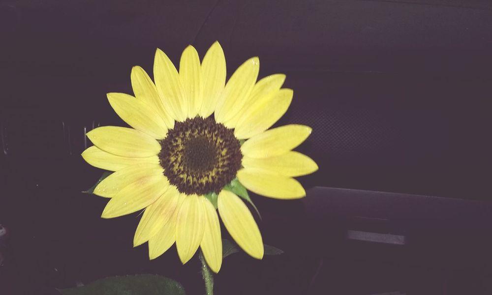 Flower Sunny Sunflower🌻 New Hope, Pa Trishann Artlovelaughter