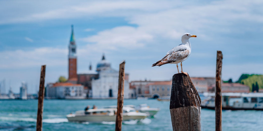 Scenic view of blurred Venice panorama of Venice's embankment with seagull in front. Most popular touristic attraction, summer city trip vacation in Italy. Venice City Bell-tower Seagull Italy Architecture Canal Europe Historic Landmark Romantic Transport Venezia Boat Tower Ancient Venetian Building Seagulls Church Vacation Cityscape Famous Honeymoon Gondola Lantern Marco Tourism Lagoon Italia Bird Palace Square Antique Cathedral Catholicism Channel Christianity Coast Float Maggiore Majestic Medieval Monastery Panorama Italian Pier Pillar Quay Sights Transportation Vehicle Water Waves Beautiful Blue Old Sky Veneto View Campanille European  San Scene St Street Culture Piazza