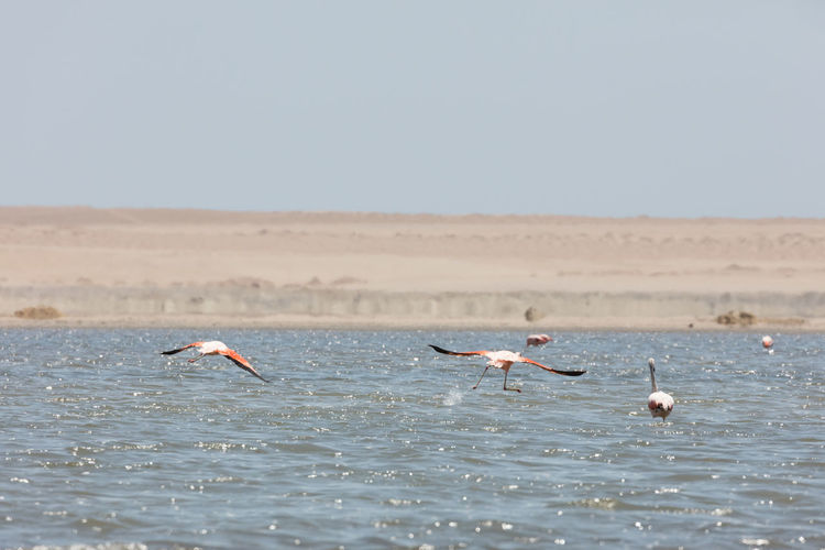 Flamingos chilenos in National reserve of Paracas, Peru America Animals Ballestas Bay Beach Beauty Blue Cruise Cruiser Day Desert Dream Excursion Flamingo Flamingos Fly Grandeur Hike Hiking Holiday Ica Independence Interest Island Lagoon Landscape Life LINE Lonely Marine Natural Ocean Pacific Paracas Park Peru Peruvian Phoenicopterus Pink Recreation  Sand Sea-mew Signs Tourism Tourist Trip Vacation White
