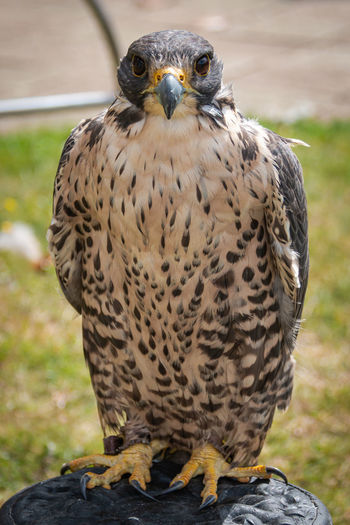 Close-up portrait of peregrine falcon perching outdoors