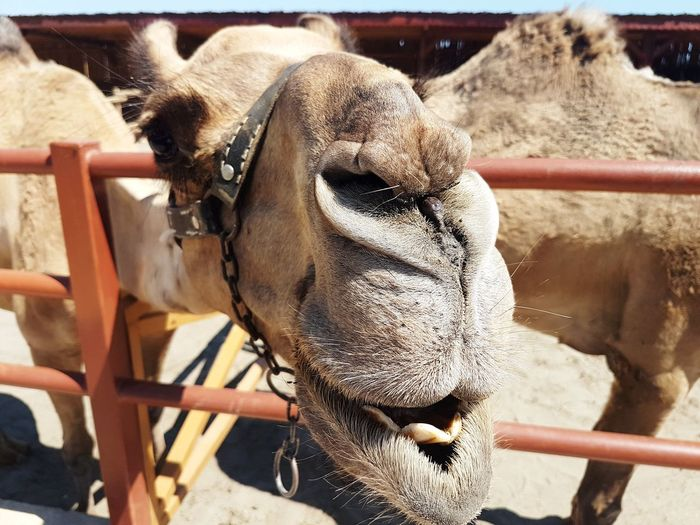 Hello Samsungphotography Samsung Galaxy S7 Photography EyeEmNewHere EyeEm Best Shots Eye4photography  Camel Animal Animals In The Wild Animal Wildlife Animals Animal Head  Beauty EyeEm Selects Close-up