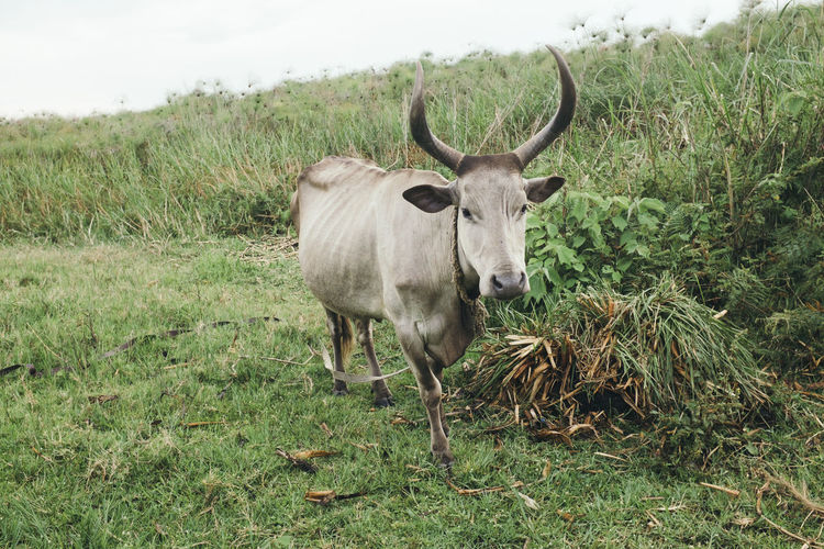 High angle view of cow