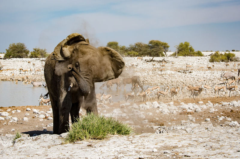 African Elephant Animal Themes Animals In The Wild Beauty In Nature Day Domestic Animals Dusting Elephant Etosha National Park Field Grass Landscape Mammal Nature No People One Animal Outdoors Rock - Object Sky Water Waterhole Elephant