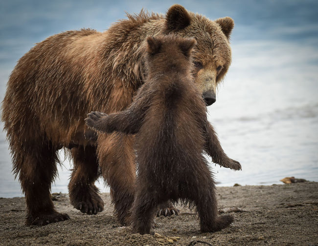 Grizzly bear with cub on shore at beach