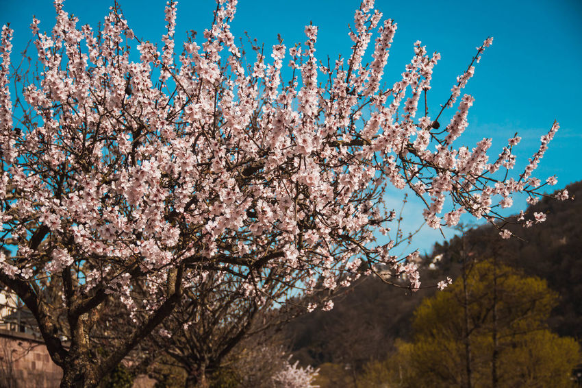 Almond Tree Apple Blossom Beauty In Nature Blossom Branch Cherry Blossom Cherry Tree Close-up Day Flower Flower Head Fragility Freshness Growth Low Angle View Nature No People Orchard Outdoors Pink Color Plum Blossom Scenics Sky Springtime Tree