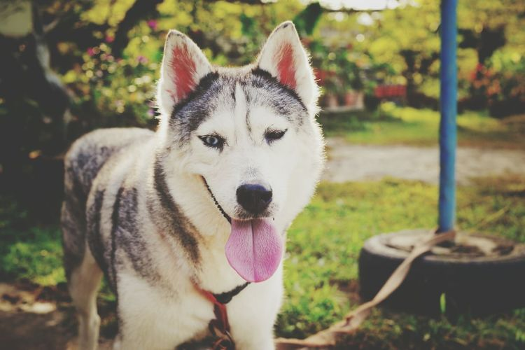 Portrait of siberian husky sticking out tongue while standing in yard