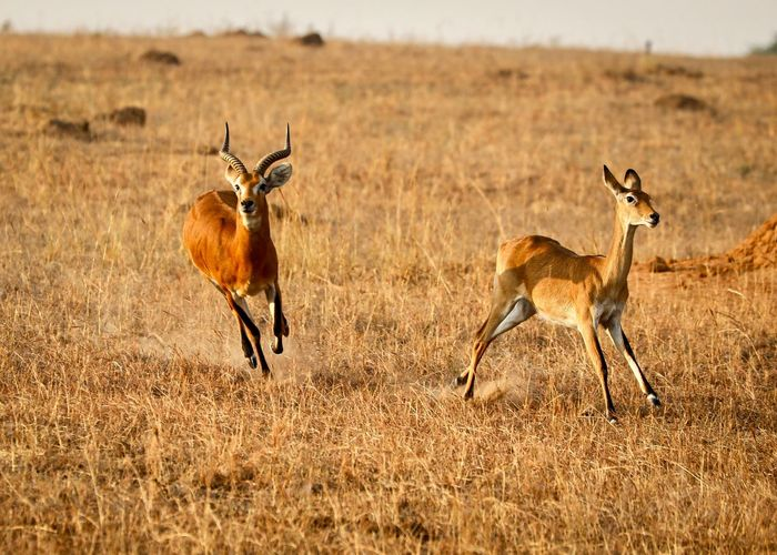 Side view of two antilopes on field