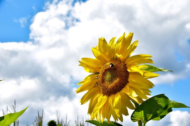 on a sunny day Sunflower Humble-bee Yellow Freshness Beauty In Nature Nature_collection Nature Photography Flower Head Blooming Summer Blue Sky Sky And Clouds Outdoors Day Summer Vacation 2017 🇩🇪 Nikon