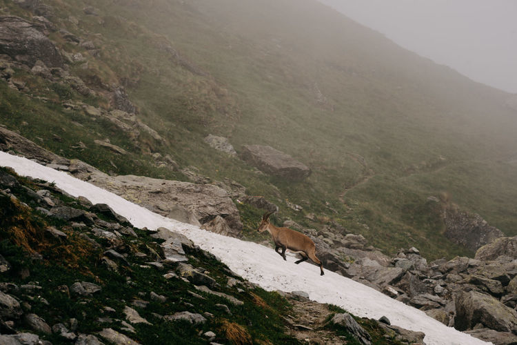 High angle view of mountain goat walking on land