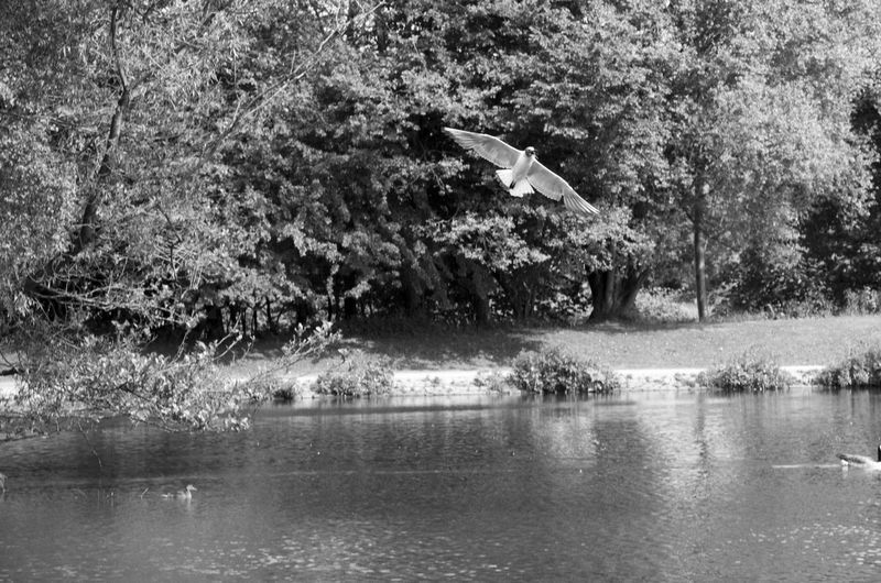 Capturing The Moment Flying Creatures Nature Pond B&w Bird Black And White Park Water Wingspan