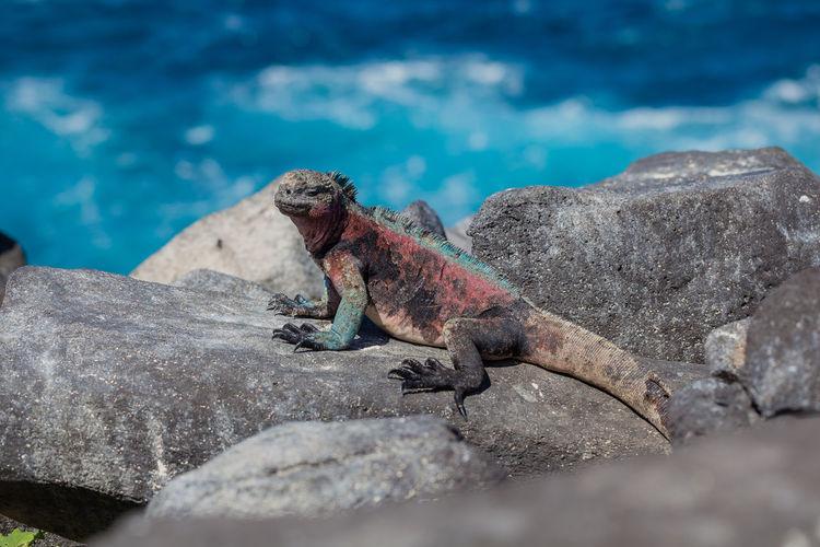 Lizard on rock in sea