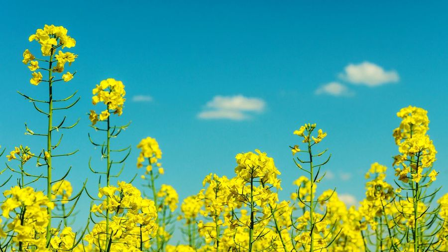 Fresh Yellow Flowers Blooming In Field Against Blue Sky