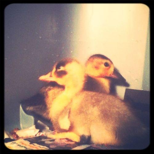 My Duckss<3