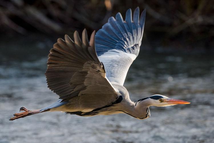 Grey Heron in