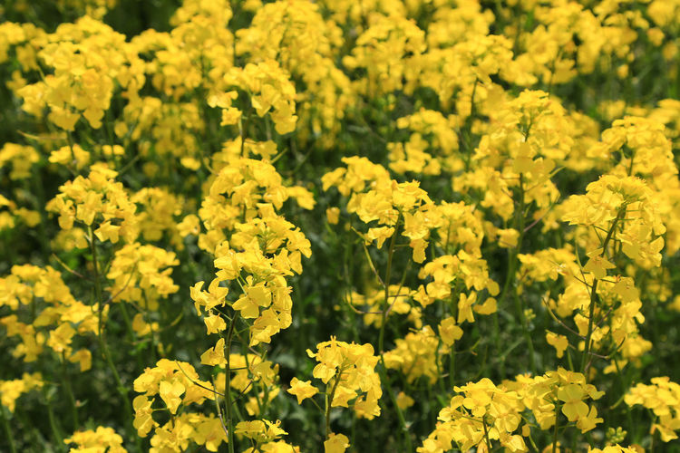 Yellow flowering plants in field