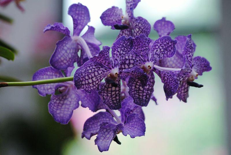 orchids Sri Lanka Kandy Botanical Garden Orchids Flower Head Flower Iris - Plant Purple Petal Lilac Orchid Close-up Plant