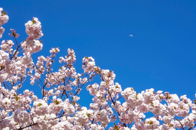 Blue Beauty In Nature Sky Plant Flowering Plant Flower Growth Low Angle View Fragility Tree Cherry Blossom Springtime Clear Sky Freshness Vulnerability  Day Nature Blossom No People Branch