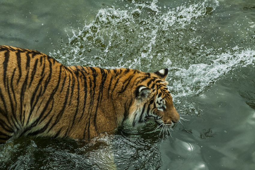 feline BeNGaL TiGeR Bengal Panthera Tigris Tigris Tigers Animal Animal Themes Animal Wildlife Bengal Tigers Feline Lake Nature No People One Animal Outdoors Tiger Tigre Tigre De Bengala Water