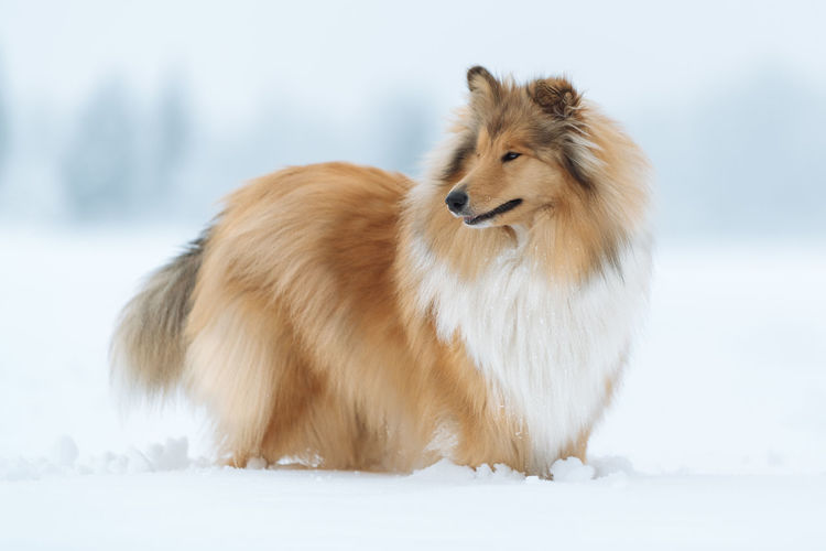 Snow Animal Themes Cold Temperature Animal One Animal Winter Mammal Vertebrate Animal Wildlife Domestic Animals Pets White Color Animals In The Wild Canine Dog Nature Land Domestic Field No People Hair
