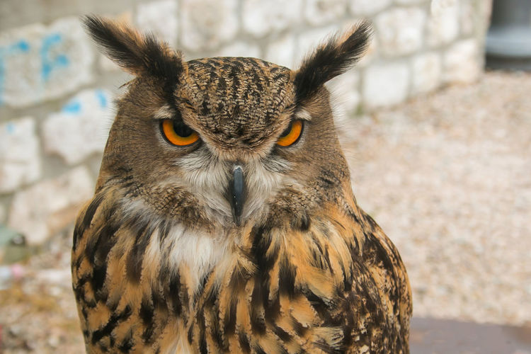 Portrait of beautiful owl nocturnal bird with big eyes Animals In The Wild Funny Funny Moments Hungry Nature Animal Animal Wildlife Animals In The Wild Bird Bubo Bubo Close-up Crazy Expression Eye Feather  Magic Mystery No People Nocturnal One Animal Owl Plumage Predator Wallpaper