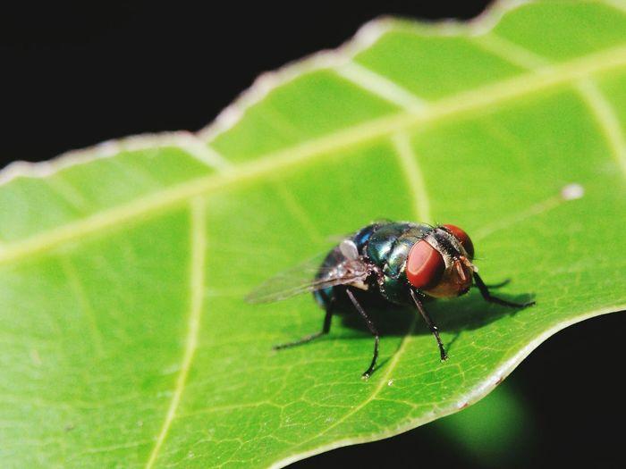 eye fly Macro