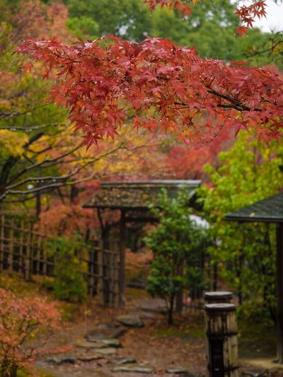 Tree Autumn Outdoors Nature No People Day Growth Architecture Beauty In Nature Japanese Garden Maple Leaf 白鳥庭園
