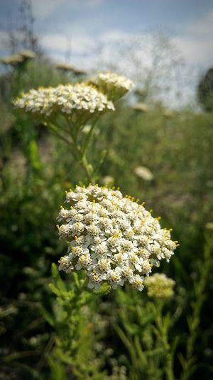 Nature Beauty In Nature No People Flower White Flowers Green белые цветы растительность Природа красота