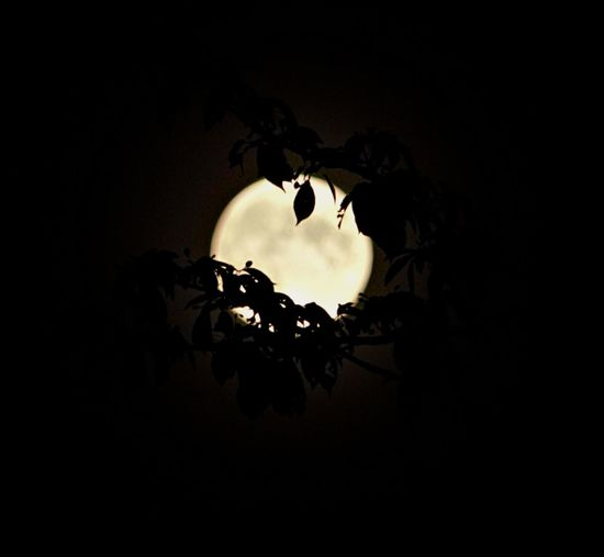 Blue moon Sky Silhouette Night No People Copy Space Nature Plant Dark Tree Plant Part Leaf Moon Illuminated Outdoors Beauty In Nature Low Angle View Full Moon Growth Planetary Moon Moonlight Blue Moon