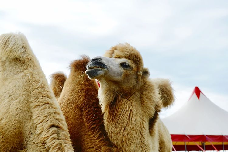 Entertainment Lifestyle Outdoors Circus Arts Culture And Entertainment Leisure Activity Camel Animal Themes Mammal Sky Animal One Animal Vertebrate Nature Mouth Open Animal Head  No People Pets Domestic Animals Domestic Day Low Angle View Cloud - Sky