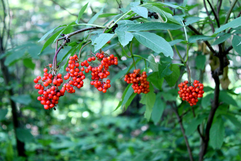 Beauty In Nature Berries Berries Collection Berry Berry Fruit Berry Trees Berrys Close-up Day Focus On Foreground Food Food And Drink Freshness Fruit Green Color Growth Healthy Eating Leaf Nature No People Outdoors Red Rowanberry Tree Tree