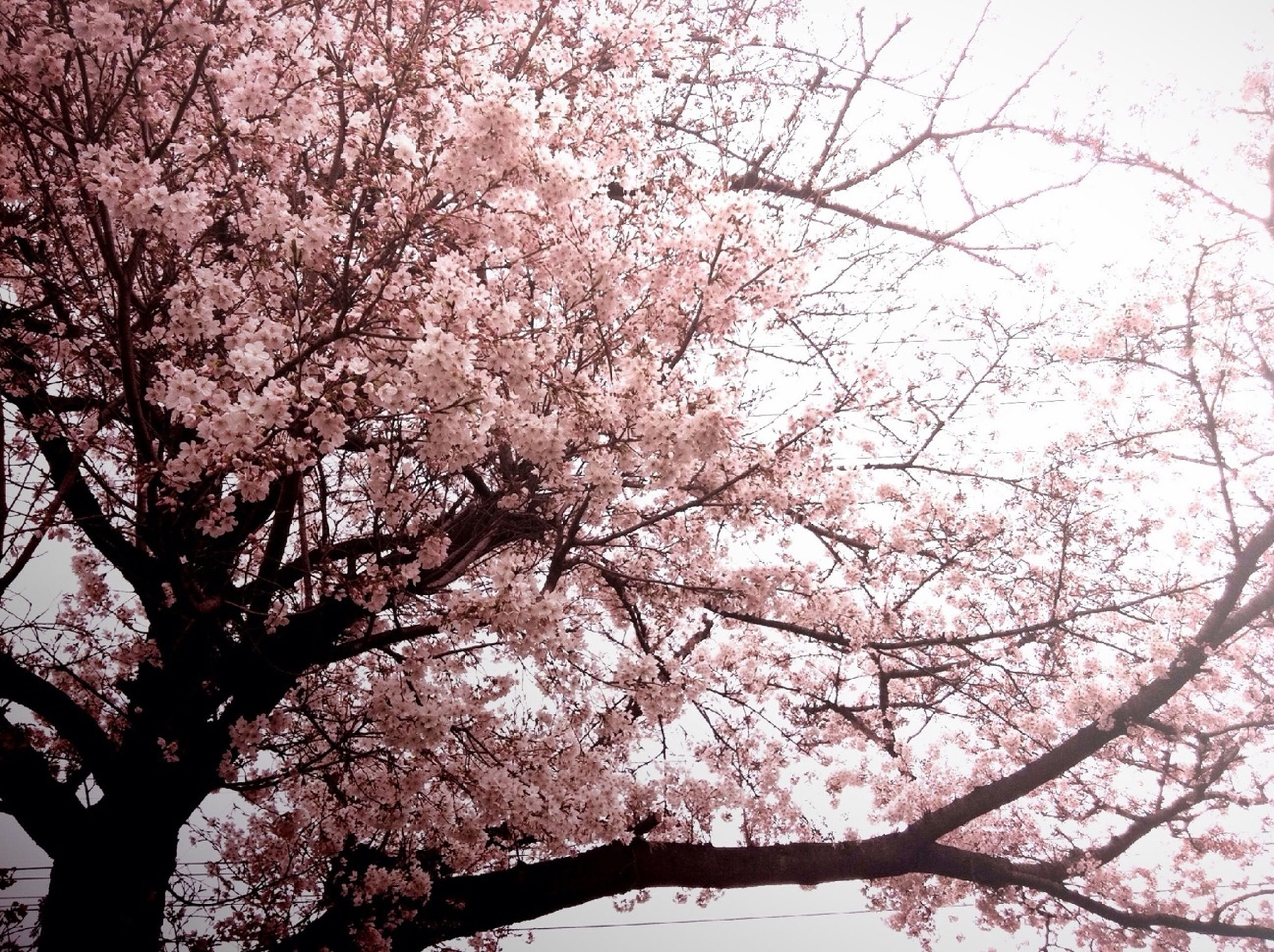 tree, branch, flower, growth, low angle view, cherry blossom, beauty in nature, freshness, blossom, cherry tree, nature, fragility, pink color, springtime, in bloom, blooming, sky, fruit tree, outdoors, day