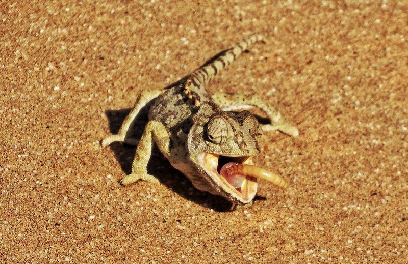 Chameleon Chameleons Chameleon Spirit Nature's Diversities Fine Art Photography