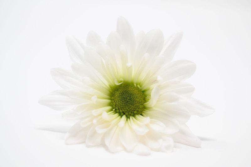 Daisy blossom