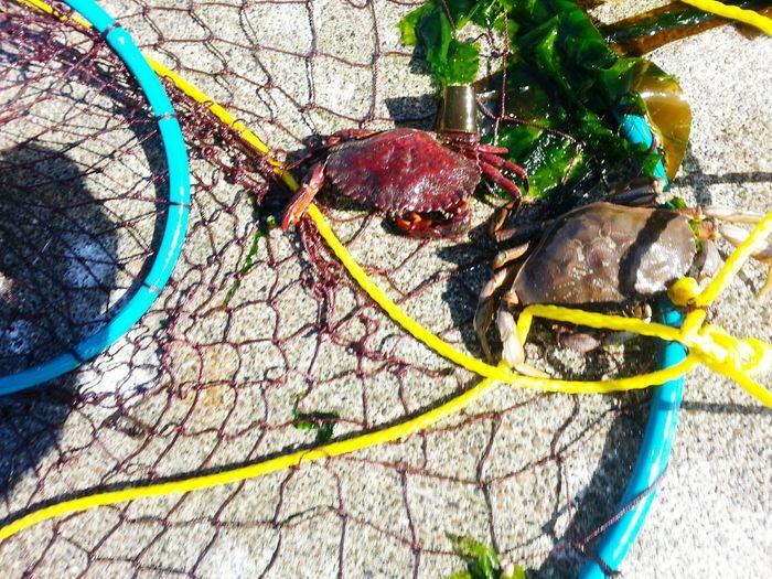Crabs Crabbing Crab Net Dungeness Red Rock Crab Oregon Oregon Coast Claws