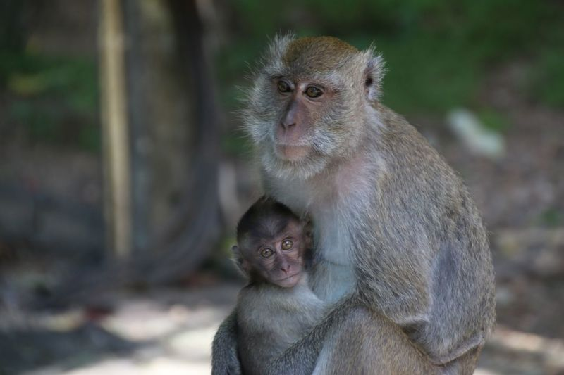 Animal Animal Wildlife Monkey Baby Cute Animals In The Wild Animal Family Young Animal Togetherness Ape Baboon Child Care Mammal Nature Outdoors Close-up Day People