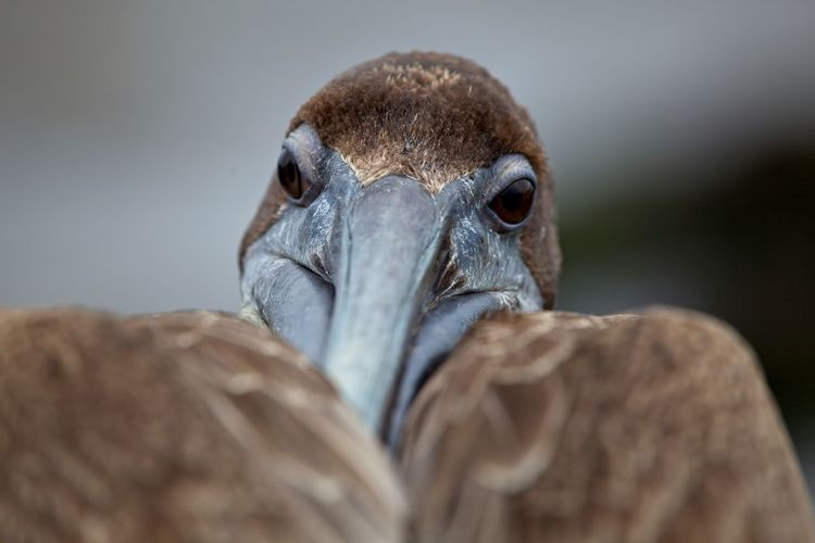 Head on closeup of galapagos brown pelican pelecanus occidentalis urinator in galapagos islands