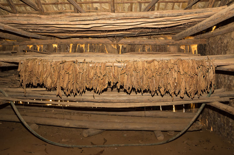 Tobacco leaves in the dryer Agriculture Farm Farmer Hanging Industry Stack Tobacco Cigar Cultivated Dryer  Hang Harvested Harvesting Leaf Nicotine Pile Storage