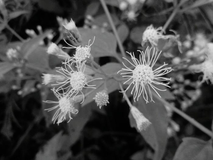 Plasma Ball flower version Taking Photos Check This Out Hello World Plants 🌱 Whiteflower Flower Backyard Green Nature Circles Pattern Enjoying Life Colour Of Life Plasma Macro Supermacroshots SuperMacro Monochrome Photography Prodigious Lit Welcome To Black The Week On EyeEm Black And White Friday