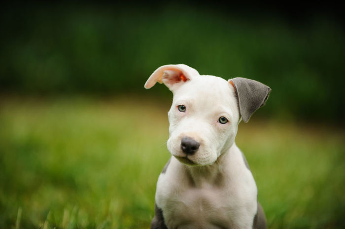 American Pit Bull Terrier dog American Pit Bull Terrier Dogs Dogs Of EyeEm Pit Bull Animal Animal Themes Apbt Blue Nose Pitbull Close-up Day Dog Focus On Foreground No People One Animal Pet Pitbull Portrait