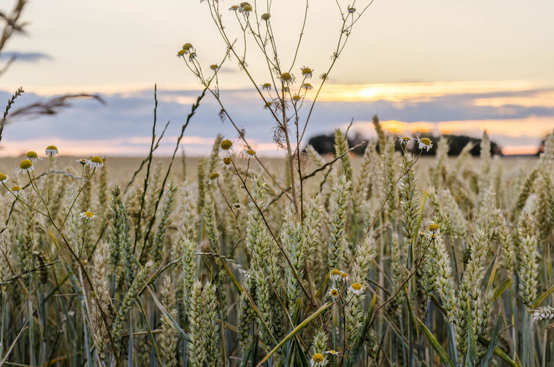 Agriculture Beauty In Nature Cereal Plant Close-up Crop  Farm Field Focus On Foreground Growth Land Landscape Nature No People Outdoors Plant Rural Scene Selective Focus Sky Stalk Sunset Tranquil Scene Tranquility
