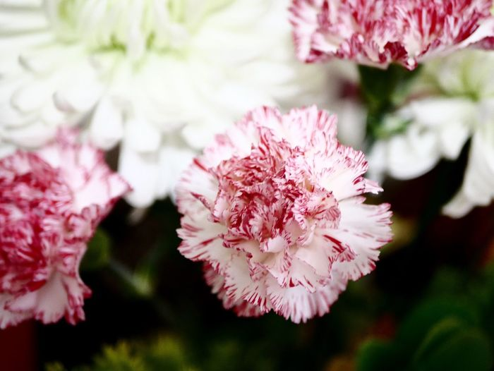 Flower Flowering Plant Plant Beauty In Nature Fragility Freshness Growth Vulnerability  Pink Color Inflorescence Close-up Flower Head Petal Nature Blossom No People
