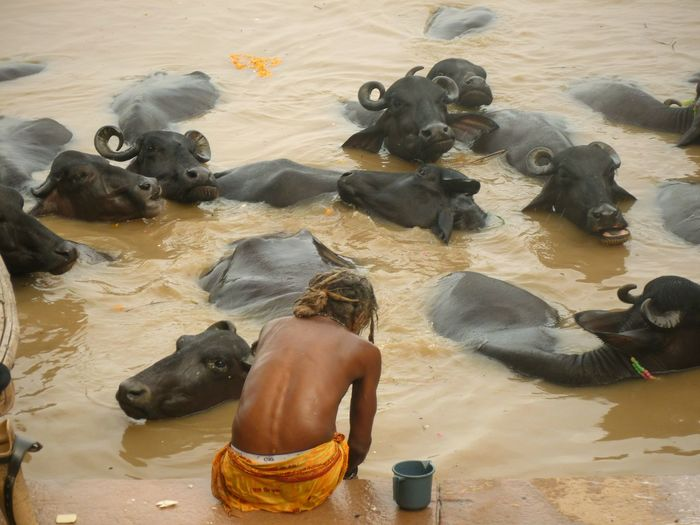 Rear view of man sitting by water buffaloes in lake