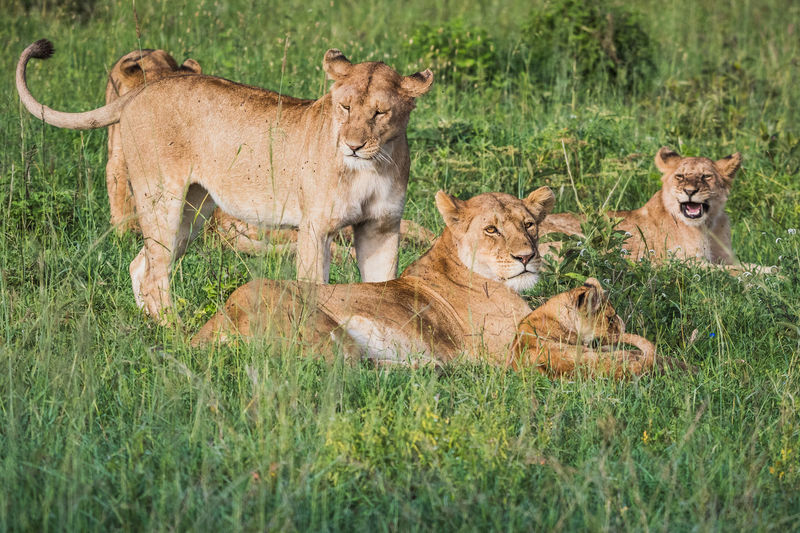 Pack of lions relaxing on grass