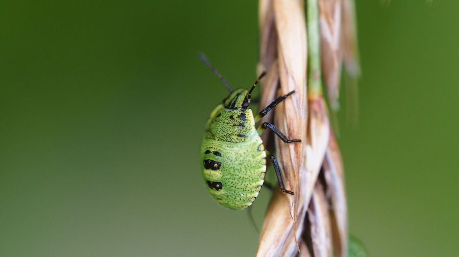 Close-up of green bug on dried plant