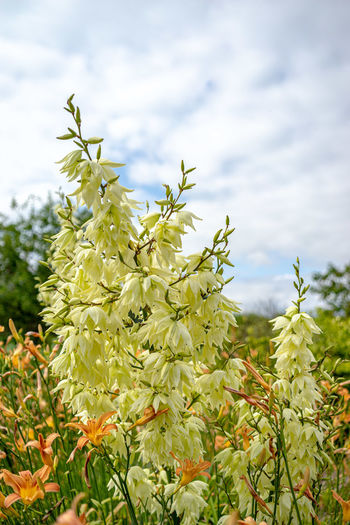 Garten Yucca Blüten Yucca Flower Plant Growth Beauty In Nature Flower Flowering Plant Nature Close-up Fragility Vulnerability  Day Freshness Focus On Foreground No People Green Color Plant Part Leaf Outdoors Yellow Cloud - Sky Tree Flower Head